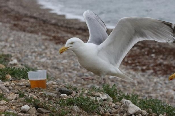 Seagulls in Lyme Regis have been getting drunk on discarded beer cans and glasses left behind by sun seekers during the recent heatwave