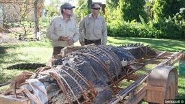 a man in a military uniform: NT Parks and Wildlife rangers Chris Heydon and John Burke (pictured with 600kg croc) said the gigantic finding was unusual as they average a 4.2 metre crocodile most years