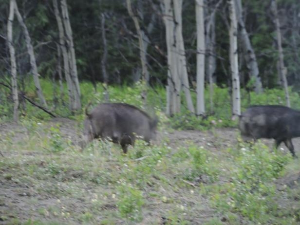 a black bear walking through a forest: Tannis Thompson-Preete managed to snap some pictures of the wild boar when she spotted them near the Alaska Highway earlier this month.