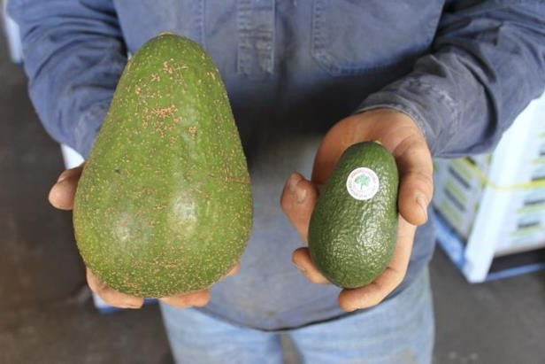 Avozillas are five times bigger than an average avocado and have an average weight of 1.2 kilograms.