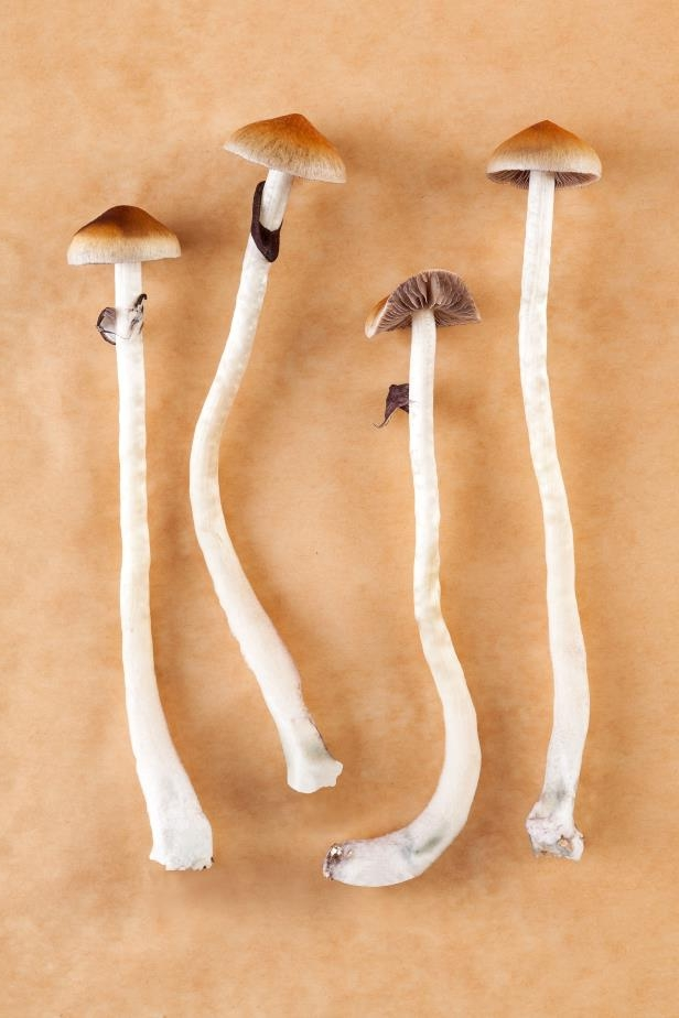 Stock photo - Magic mushrooms. Psychedelic psychotherapy, natural depression and addiction medicine. Entheogens.