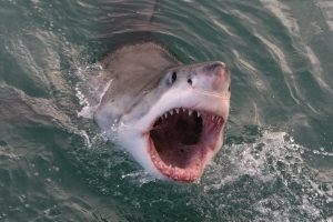 Experts warn that great whites and other man-eating shark species could soon inhabit Irish waters