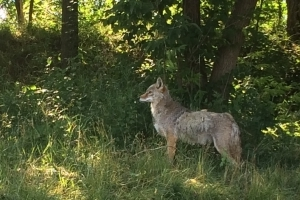 Stop taking selfies with coyotes, says Ahunstic-Cartierville mayor after attacks