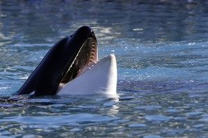 Grieving killer whale mother falling behind family