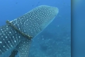 Whale shark unwrapped from fishing line by Hawaii family