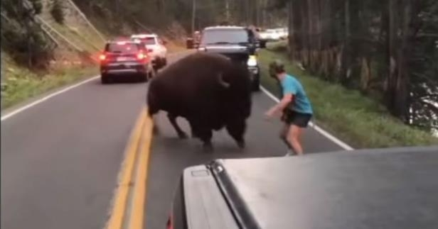 a person riding a skateboard down the side of a road: Man Exits Car to Taunt Bison at Yellowstone National Park — and the Alarming Incident Is Caught on Tape