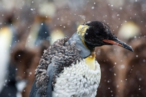 World's Largest King Penguin Colony Is Shrinking Mysteriously