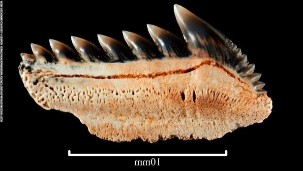 Fossilized teeth of the Sixgill shark.