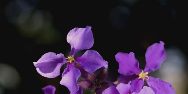 a close up of a flower: The Chinese violet cress has been hiding a never-before-discovered fatty acid that could be a near-perfect lubricant.
