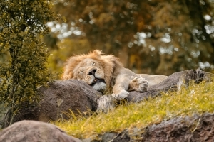 Do you sleep like a lion, bear, dolphin or wolf? 'The Sleep Doctor' explains what this means