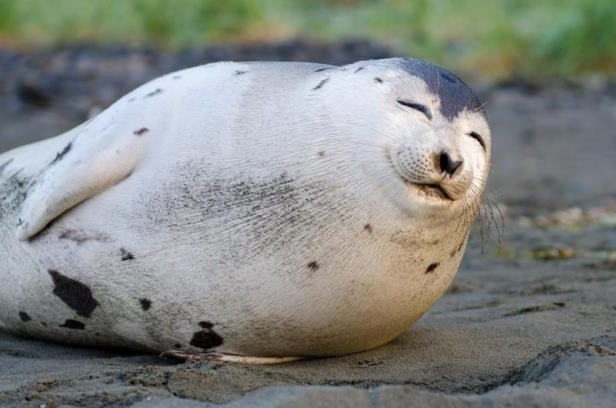 Canada: 'Smiling' seal spotted on N L  beach dies