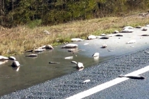 In North Carolina, dead fish found on the highway as floodwaters recede