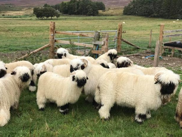 Smart Living: Cutest sheep in the world are in 'hot demand