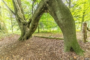 You're such a sap! Beech sapling grown into letter 'N' to woo woman called Nellie is named England's Tree of the Year