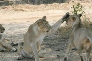 Gir lions continue to be tested for CDV