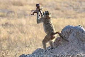 It's the real-life circle of life! Monkey holds its baby aloft, just like scene from The Lion King