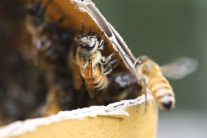 Mutant bees and robotic pollinators: Why beekeepers are concerned for the future