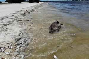 Officials: Red tide suspected as dead dolphins wash ashore