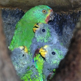 Tech & Science : Endangered swift parrots pushed into tragic
