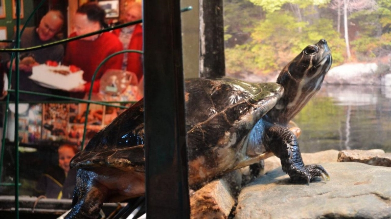 Diane The Turtle Celebrates 50th Birthday Complete With Tiny Party Hat