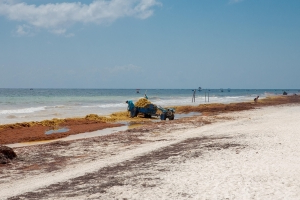 New Program Hopes to Control Seaweed Along Quintana Roo Beaches