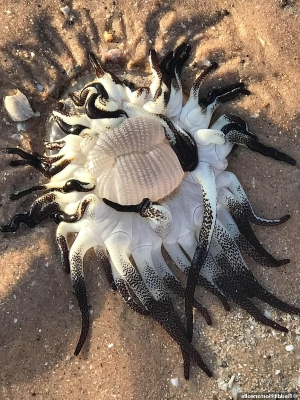 What is THAT? Alien sea creature's mass of tentacles baffles locals after washing up on an Australian beach