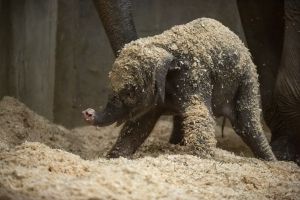 3-week-old elephant dies at Ohio zoo after sudden illness