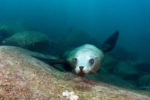 Oregon Begins Killing Sea Lions in Bid to Save Fish Population