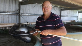 Growers and chefs prepare to get more farmed Murray cod on the menu