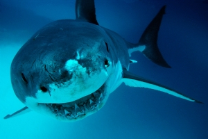 Divers in Hawaii may have been swimming with biggest great white shark on record