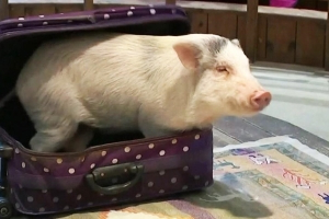 Families Flock to Pig Museum to Prepare for the Year of the Pig