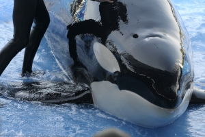 SeaWorld whale Kayla, 30, dies; cause is a mystery