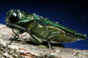 Polar Vortex may kill most of invasive emerald ash borer in Wisconsin