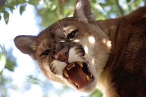 Colorado Runner Attacked by Mountain Lion, Kills It With His Bare Hands