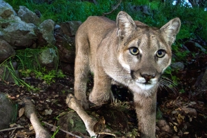 Runner kills attacking mountain lion on Colorado trail