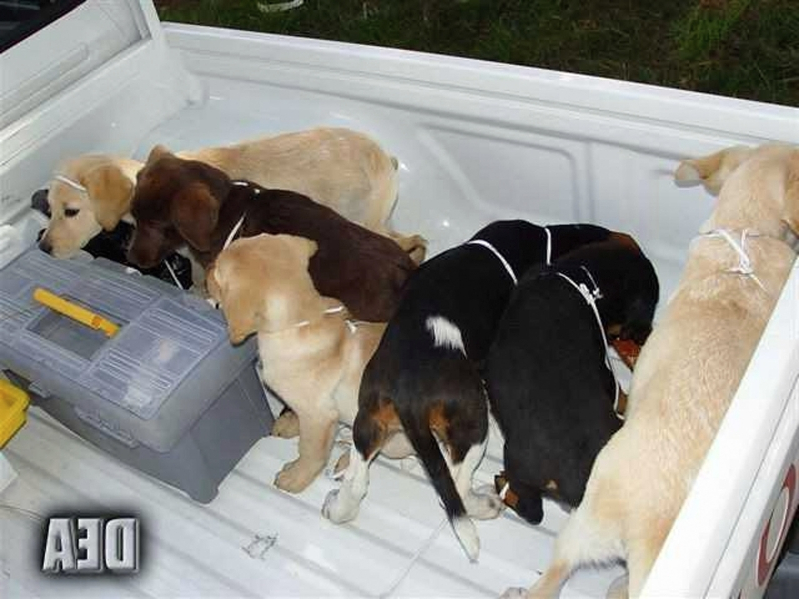 Vet sentenced for implanting heroin in puppies as drug mules