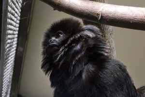 Rare Goeldi's monkey stolen from Florida zoo is recovered
