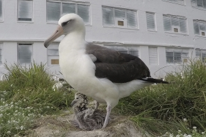 World's oldest known wild bird hatches chick on Midway Atoll