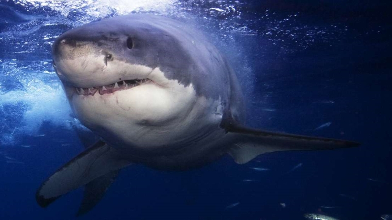 Offbeat: Great White Sharks May Have Led to Megalodons
