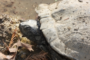 Texas turtles are dying and state officials don't know why