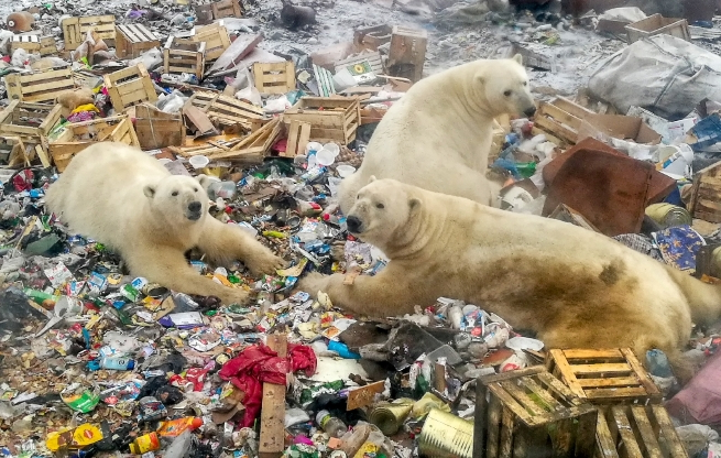 Image result for polar bears climate refugees russian town