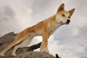 Australian researchers say dingo is not a dog, but own species