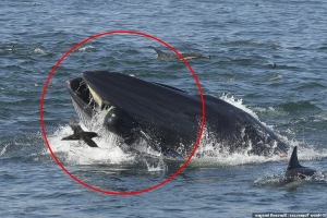 The real-life Jonah! Incredible moment a diver is spat out by a WHALE after getting sucked in as the giant beast feasted on sardines