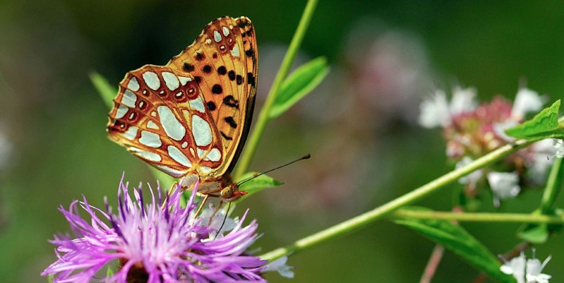 This is the UK's most endangered butterfly