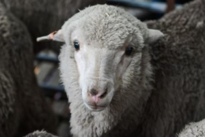 Sheep impregnated using 50-year-old sperm