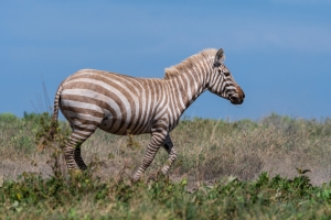 "Extremely rare ""blonde"" zebra photographed"