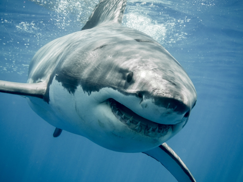 Scientists Strap Cameras to Sharks to Watch Them Hunt