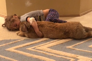 Meet Cocoa Puff, the Giant Rabbit Who Is as Big as His Toddler Owner