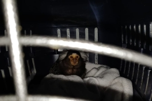 First photo of monkey found during guns and drugs raid in north Dublin