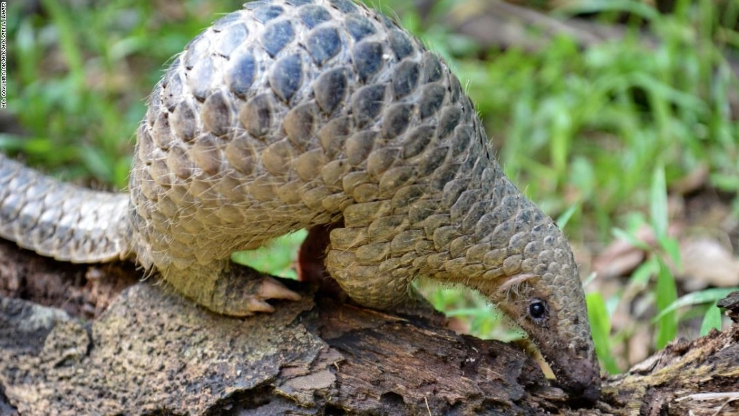 14 tons of pangolin scales seized in Singapore in a single smuggling bust